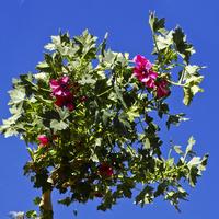 Drzewko z Andów Peruwiańskich