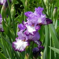 Fioletowo białe kwiaty