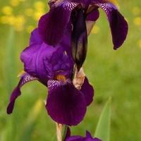fioletowy irys