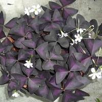.#Fioletowy szczawik z gwiazdeczkami...