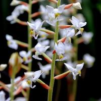 klejnotowa orchidea - ludisia