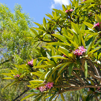 Krzew plumerii