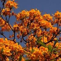 krzew pomarańczowy