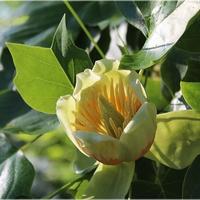 Kwiat tulipanowca...