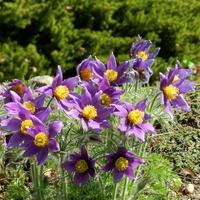 Kwiaty fioletowe-sasanki