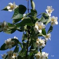 kwitnący jaśminowiec