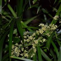 kwitnący papirus