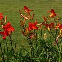 liliowce czerwone