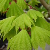 młoda zieleń
