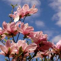 Magnolia na tle nieba
