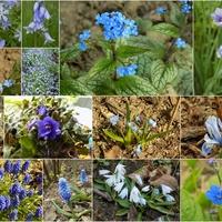 Niebieskości wiosenne :)