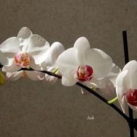 orchidea biała
