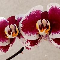 orchidea (fragment)