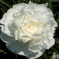 Peonia śnieżno-biała