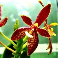Phalaenopsis Corni C