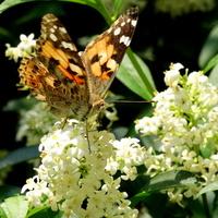 Pięknie pachnie i wabi motyle :)