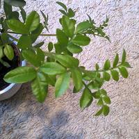 Pistacja kleista-Pistacia lenticus nowe przyrosty