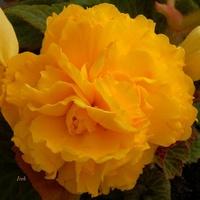 pomarańczowa begonia