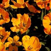 Pomarańczowe Tulipa