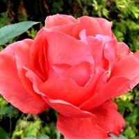 Róża - Aleksander - Harlex .  Makro .