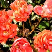 Róża - Eleanor wielokwiatowa .