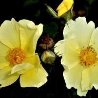 Róża - Flusching Meadows - Bokraflush .  Makro