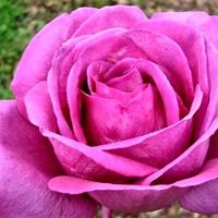 Róża - Holsteinperle - Kordiam .  Makro .