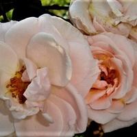 Róża - Penny Lane - Hardweil .  Makro .