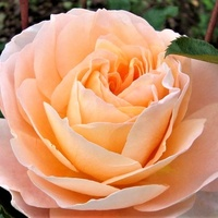 Róża - Sangerhauser Jubilaumrose .