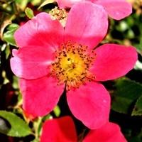Róża - Tommelise - Kortenay .  Makro .