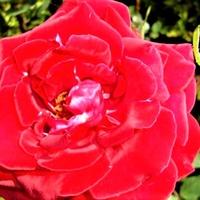 Róża - Uncle Walter - Macon .  Makro .