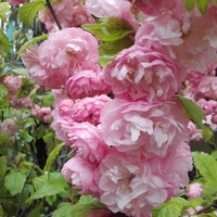 .#Różowe pomponiki...na dobranoc