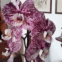 .#Storczyk-orchidea...zaszalał...