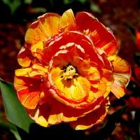 tulipan trochę pomarańczowy