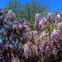 Wisteria ,fioletowe kwiaty