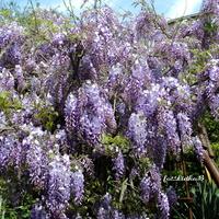 Wisteria,fioletowe kwiaty