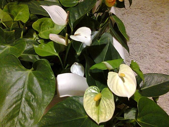 Anturium białe i waniliowe
