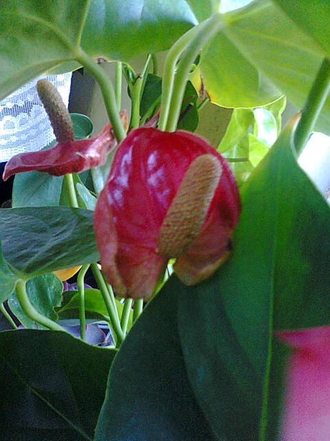 Anturium czerwone