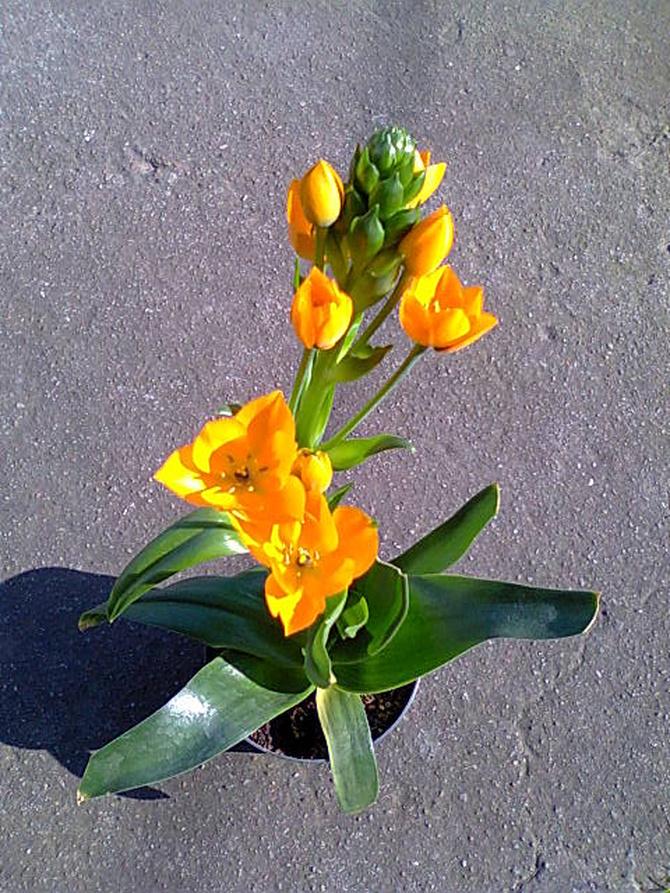 Żarówiasta barwa kwiatów...
