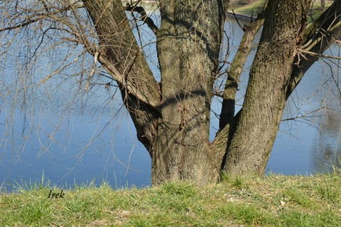 duże drzewo nad stawem