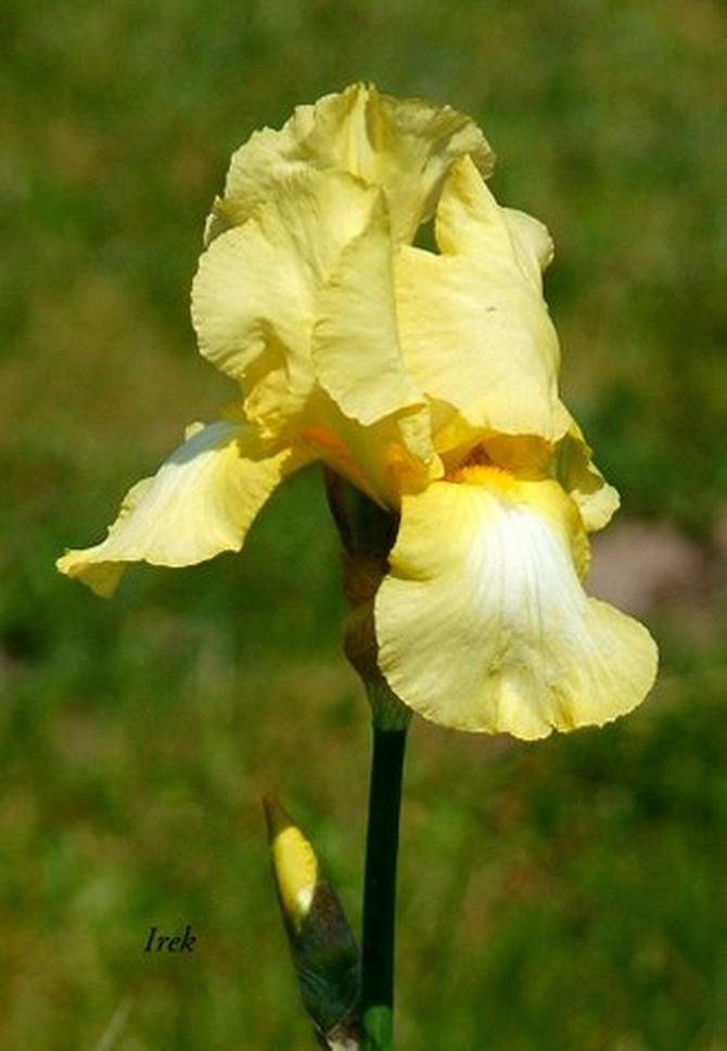 Irys żółty