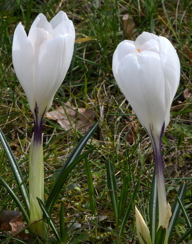 krokusy białe