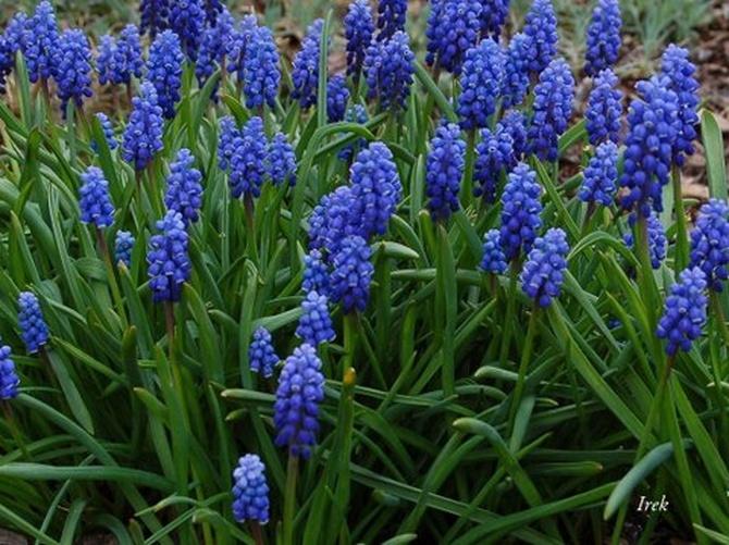 kwiaty szafirki