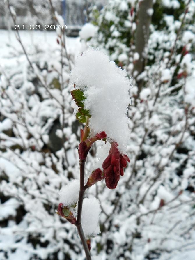 Porzeczka krwista w zimowej szacie