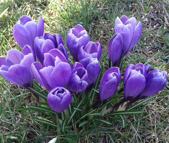 Wiosenne krokusy !!