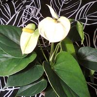 Anturium andreego Vanilla