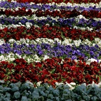 bratki, dywanik kwiatowy