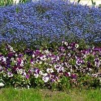 bratki i inne kwiatki na klombie
