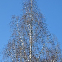 brzoza w parku