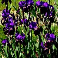 fioletowe irysy